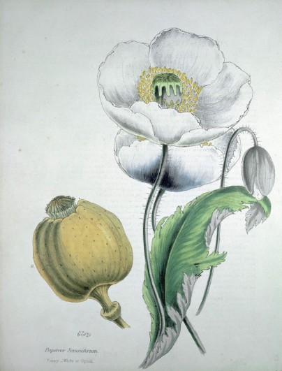 Lithograph of an opium poppy, c. 1840. Opium has been cultivated for medicinal purposes for thousands of years, and has historically been a staple of western medicine.